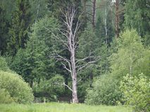 Dry tree in a green forest. royalty free stock image