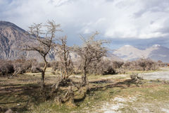 Dry tree on the green grass. Dry tree on the green grass with the great nature view in Nubra Valley, Leh Ladakh Stock Photography