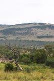Dry tree and hill. Savanna landscape. Masai Mara. Kenya Stock Image