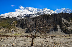 Dry tree and Himalayas mountain range Royalty Free Stock Images