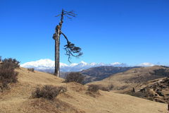 Dry tree and Himalayas mountain range. Stock Photos