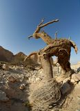 Dry Tree In The Desert In The Shape Of A Walking Man With Horns Royalty Free Stock Image