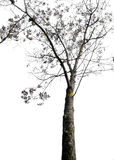 Dry Tree Isolated On White Background Stock Images