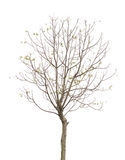 Dry Tree isolated Royalty Free Stock Images