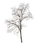 Dry tree. Isolated on white background Royalty Free Stock Images