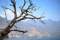 Dry tree and lake Atitlan and mountain range at the background Royalty Free Stock Images