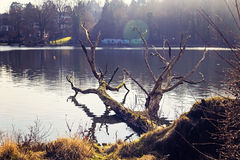 Dry tree by the lake side Stock Photography