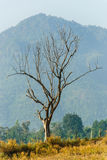 Dry tree with a mountain Royalty Free Stock Image