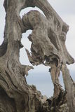 Dry tree, natural sculpture Stock Photography