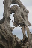 Dry tree, natural sculpture Stock Photos