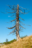 Dry Tree. In nature with blue Sky Stock Photo
