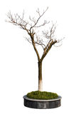 Dry tree in the parterre isolated on white background Stock Photography