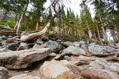 Dry tree in pine forest. Stock Photography