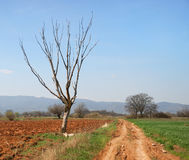 Dry tree and red dirt Stock Photography