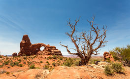 Dry tree on the red rocks background in Utah Royalty Free Stock Photos