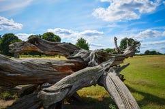 Dry tree in Richmond park Stock Photo