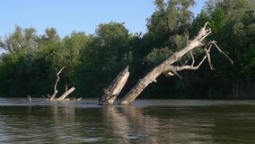 Dry tree in the river, time-lapse. Dead tree in the river. The muddy river. River in the jungle. Delta is a complete river. Water resources of the earth stock footage