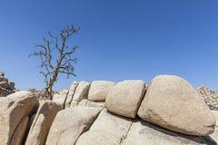 Dry tree on rock formation in Joshua Tree National Park. Stock Photos