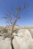Dry tree on rock formation in Joshua Tree National Park. Royalty Free Stock Photo