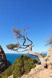 Dry tree on a rock Royalty Free Stock Photography