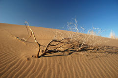 Dry tree on the sand. Dry tree (saxaul) on the sand Stock Photo