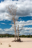 Dry tree on sand on background of blue sky. Australia royalty free stock photo