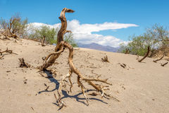 Dry Tree at the Sand Dune Stock Image