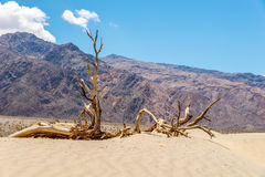Dry Tree at the Sand Dune Royalty Free Stock Images
