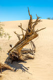 Dry Tree at the Sand Dune Stock Photos