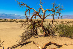 Dry tree and sand dunes Royalty Free Stock Photography