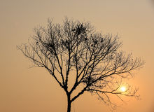 Dry tree silhouette with sunset Stock Photo