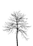 Dry tree silhouette on white Royalty Free Stock Photo