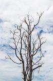Dry tree and sky. The dry tree and sky Stock Photo