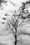 The dry tree and sky on black and white background Royalty Free Stock Images