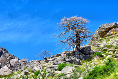 Dry tree on a slope Stock Images