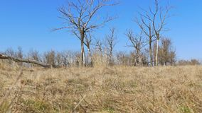 Dry tree standing lonely on the ground grass nature landscape movement stock video