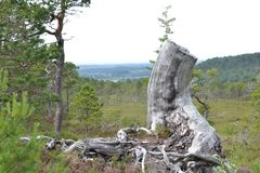 Dry tree stump Royalty Free Stock Images