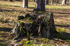 Dry tree stump in the forest. Dry stump covered with moss in the forest Royalty Free Stock Photos
