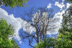 Dry tree in a summer forest. royalty free stock photo