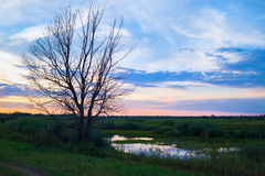 Dry tree and sunset Stock Image