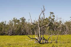 Dry tree in the swamp of Everglades Royalty Free Stock Photography