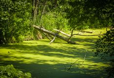 Dry tree in the swamp Royalty Free Stock Photo
