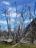 Dry tree in tierra del fuego Royalty Free Stock Image