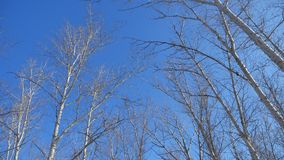 Dry tree tops on blue sky winter forest the nature landscape stock video