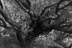 Dry tree in a tropical rain forest in black and white. Portuguese island of Madeira royalty free stock image