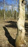 Dry tree trunk Royalty Free Stock Photos