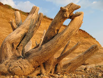 Free Dry Tree Trunk Stock Photography - 5567082