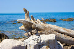 A dry tree trunk on the sea shore. Royalty Free Stock Photography
