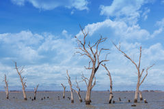 Dry tree trunks and stumps at Kow Swamp, Australia Stock Images