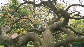 Dry tree with twisted branches. Old oak in the park stock footage